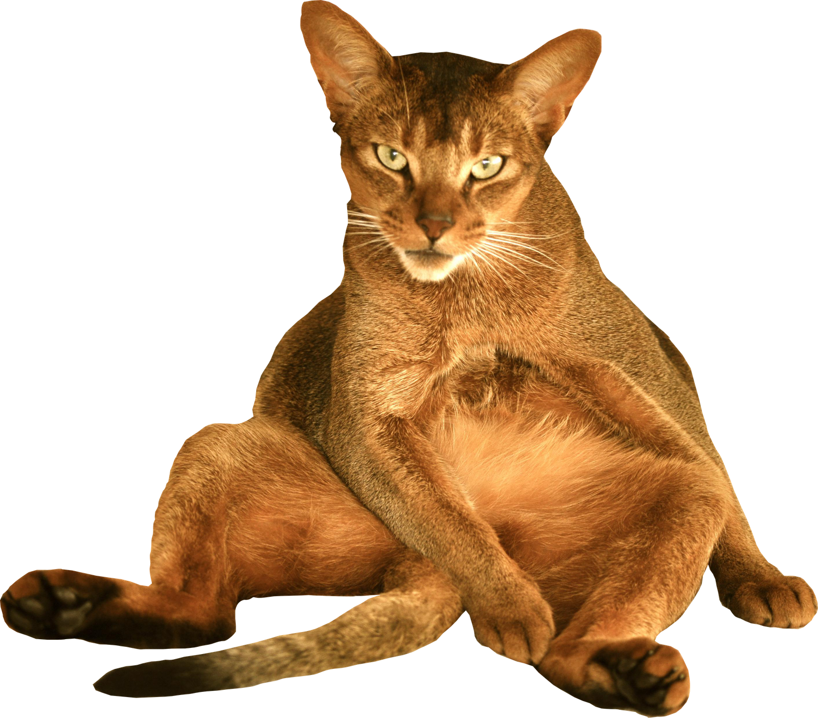 Funny cats png. Free cat images digital