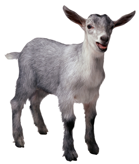 Funny goat png. Goats galore