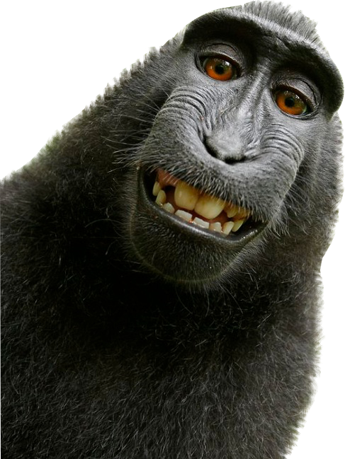 Funny monkey png. Macaque macacnigra selfie stickers