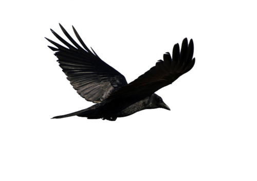 Game of thrones crow png. Pin by delaney campbell