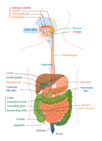anatomy vector gut