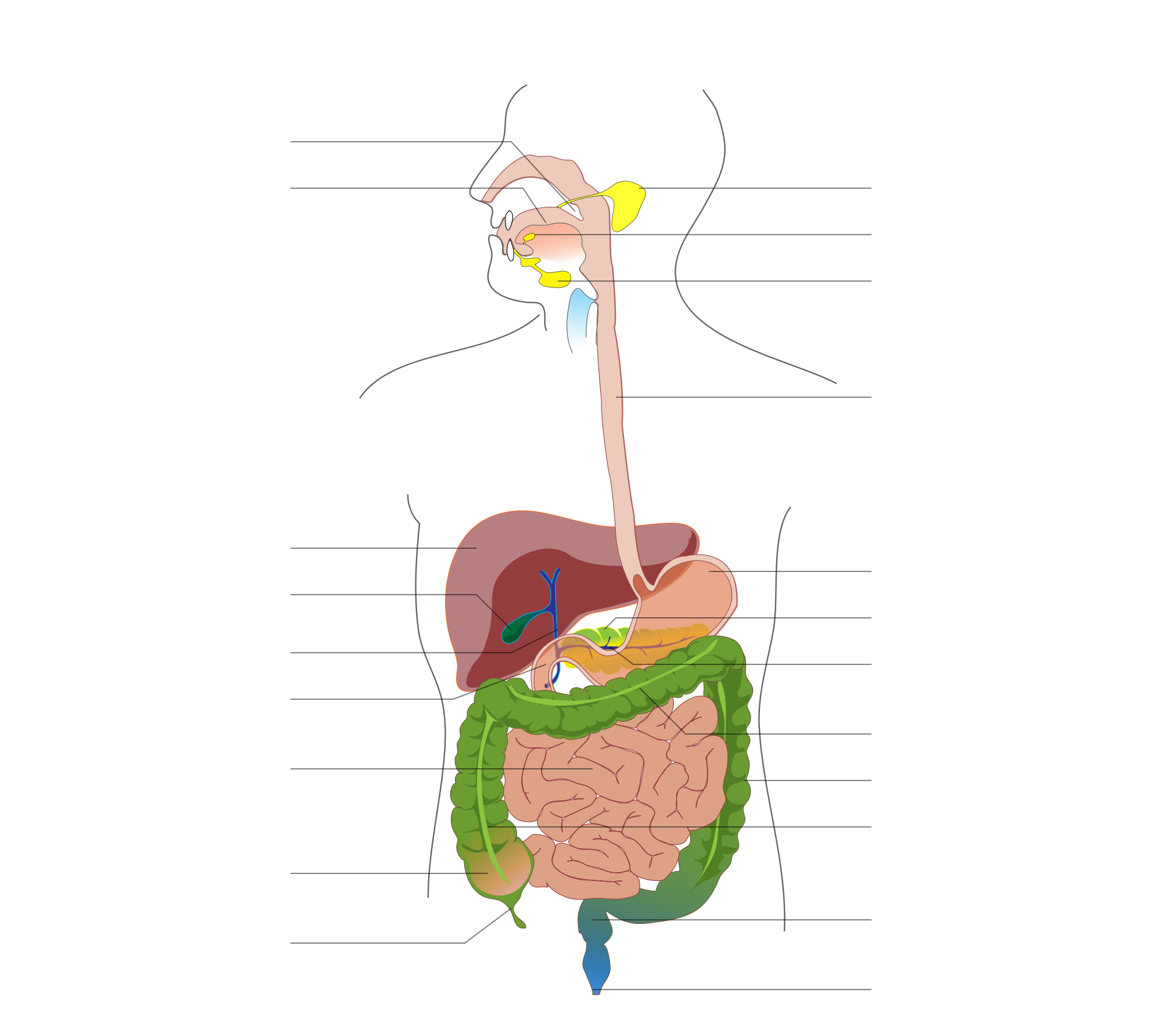 Gi drawing digestion. File digestive system diagram