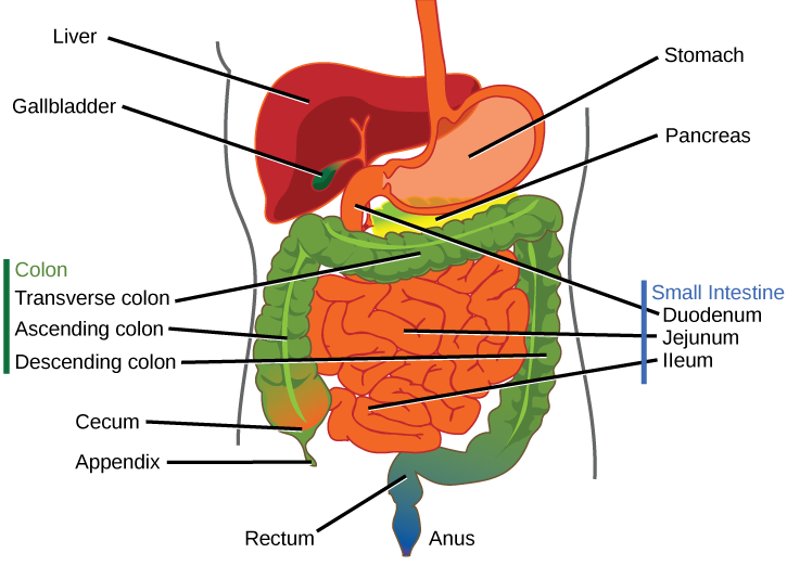 Gi drawing gallbladder. Parts of the digestive