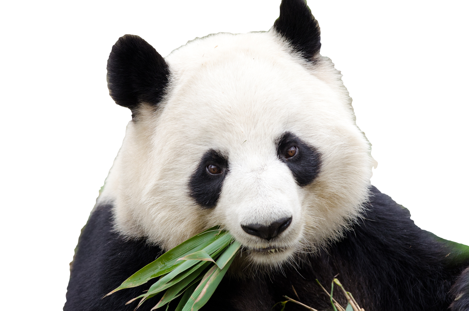 Giant panda png. Dujiangyan city chengdu research