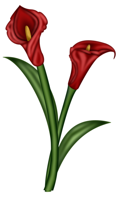 Ginger flower png. Arum lily illustration red