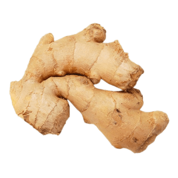 Ginger vector sketch. Download free png root