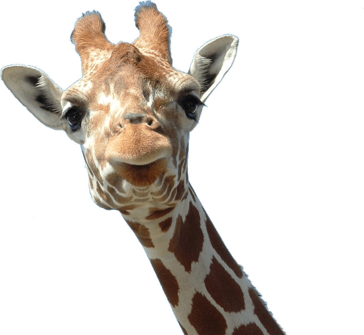 Giraffe head png. Face transparent stickpng animals