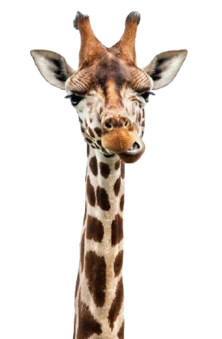 Giraffe head png. Reticulated neck stock photography
