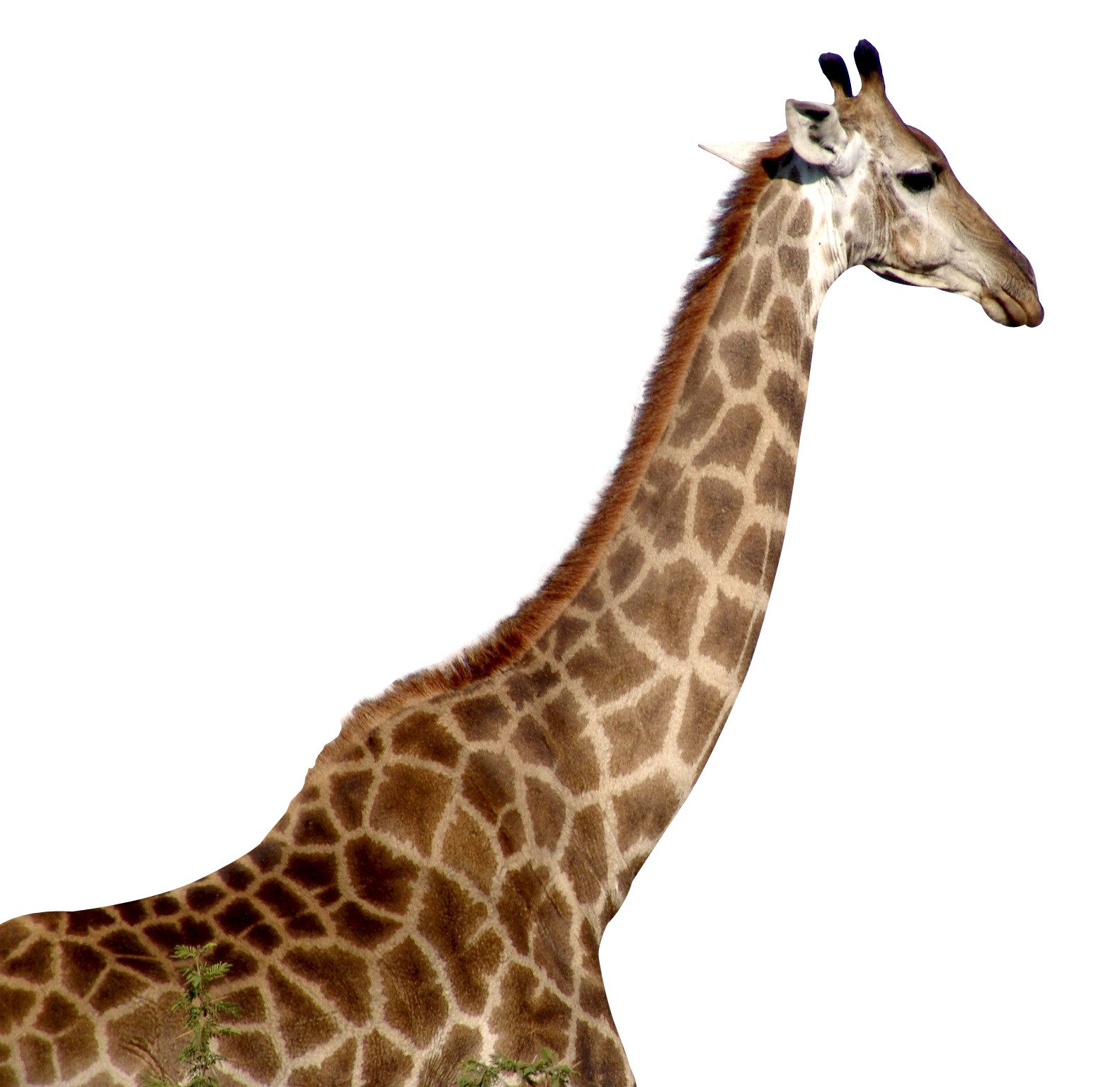 Giraffe head png. Transparent images all download