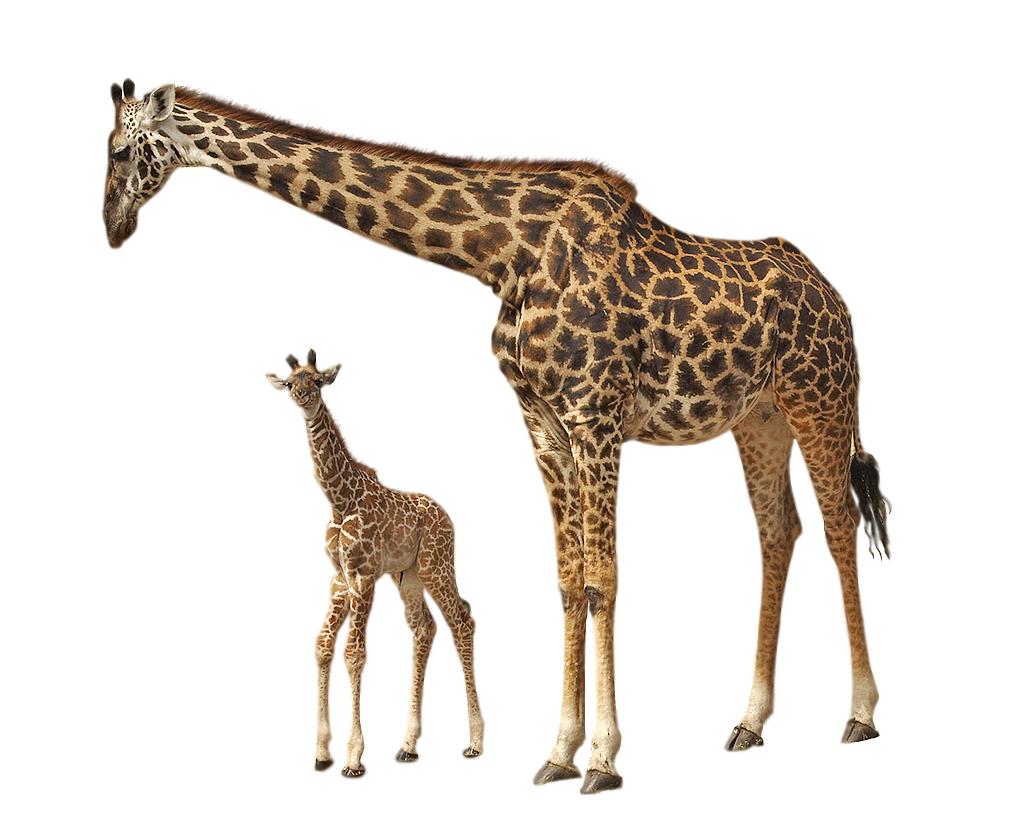 Giraffe legs png. Images free download