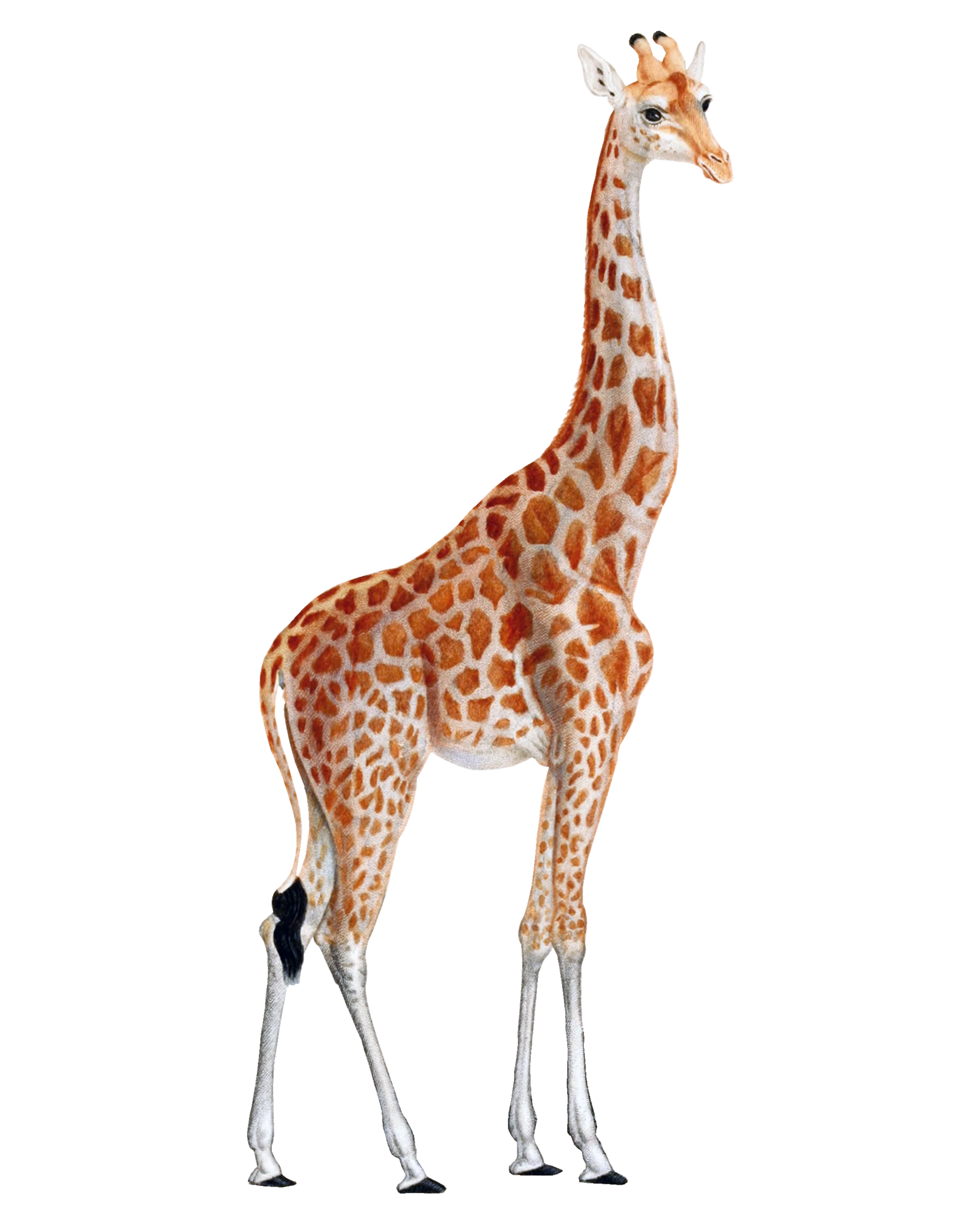 Giraffe png. Images