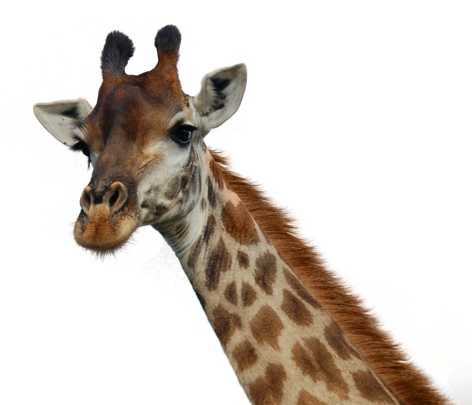 Giraffe legs png. Transparent images all pic