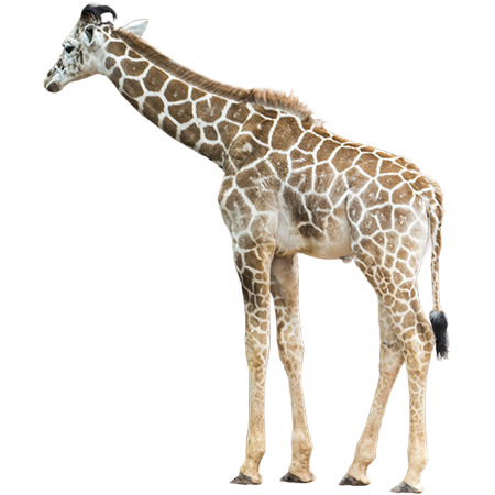 Giraffe legs png. A young in the