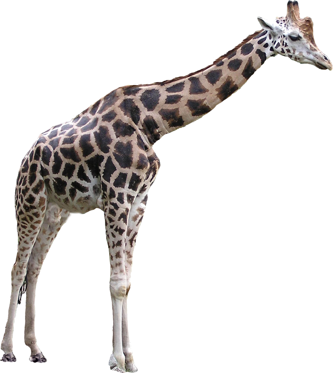 Giraffe png. Images free download