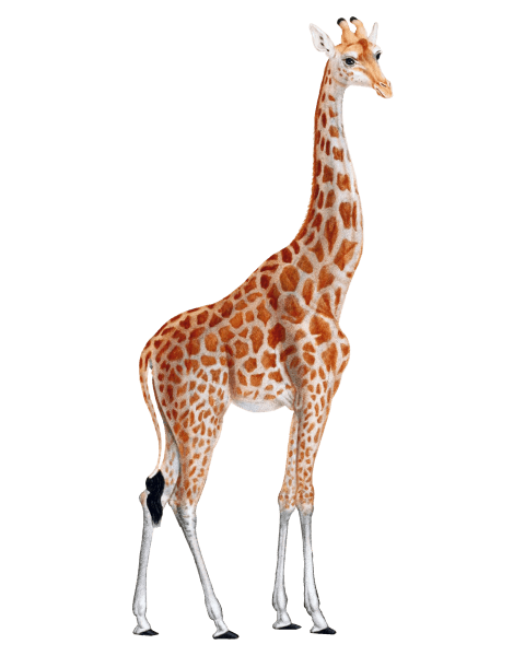 Giraffe png. Free images toppng transparent