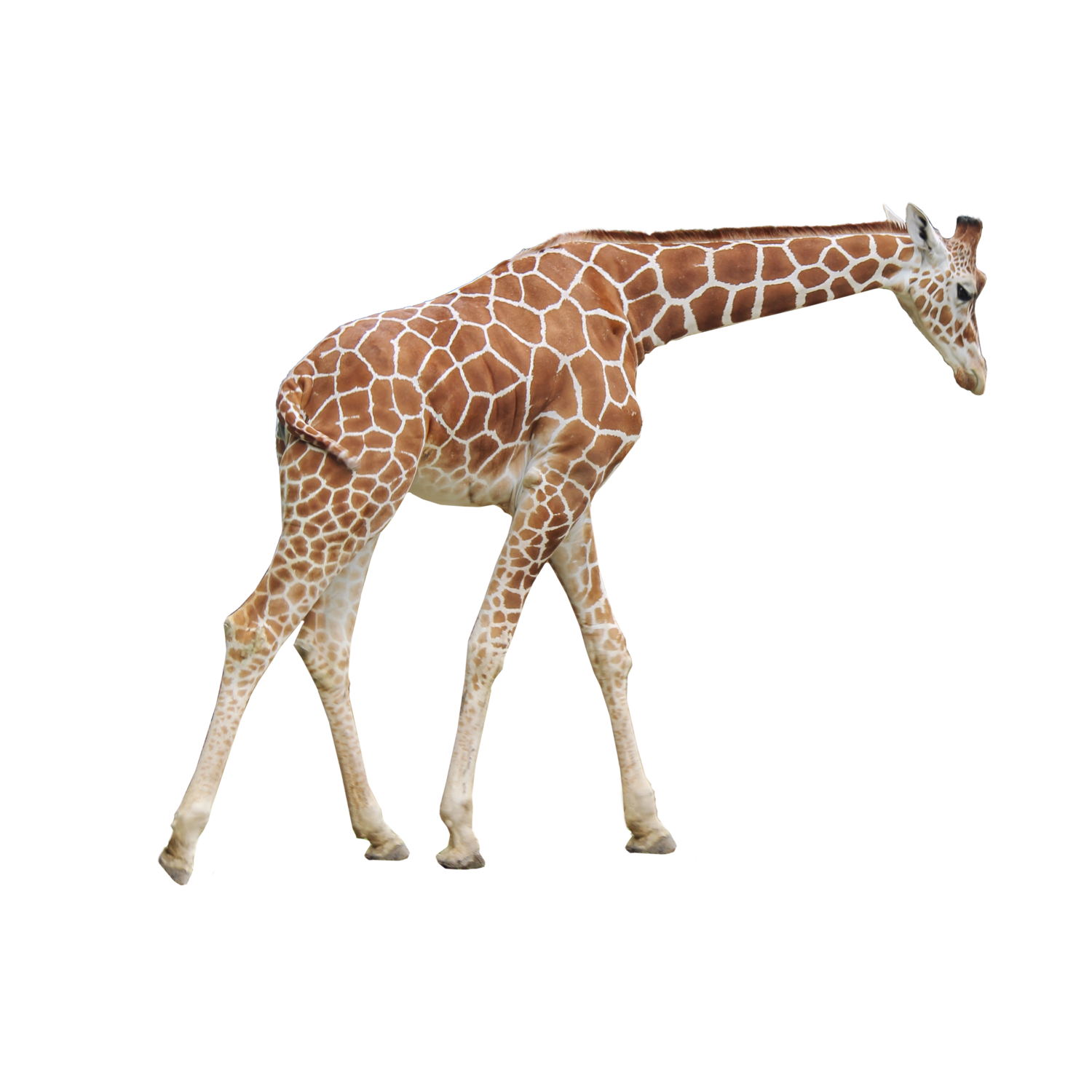 Giraffe png. Transparent images all picture