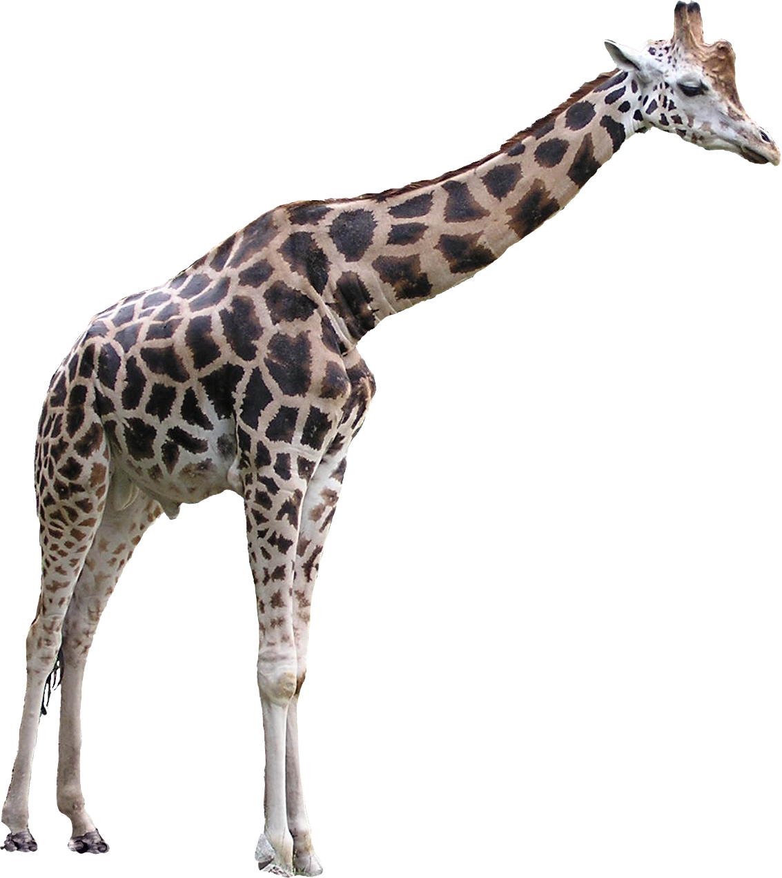 Giraffe png images. Free download