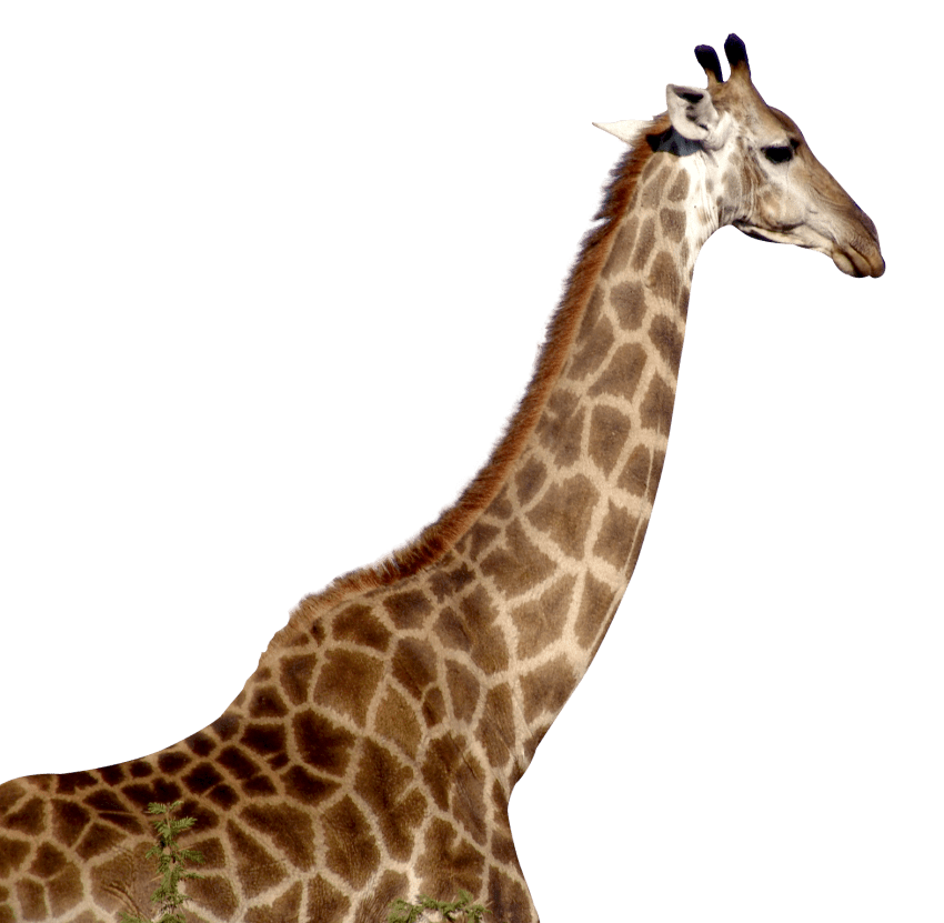 Giraffe png images. Free toppng transparent