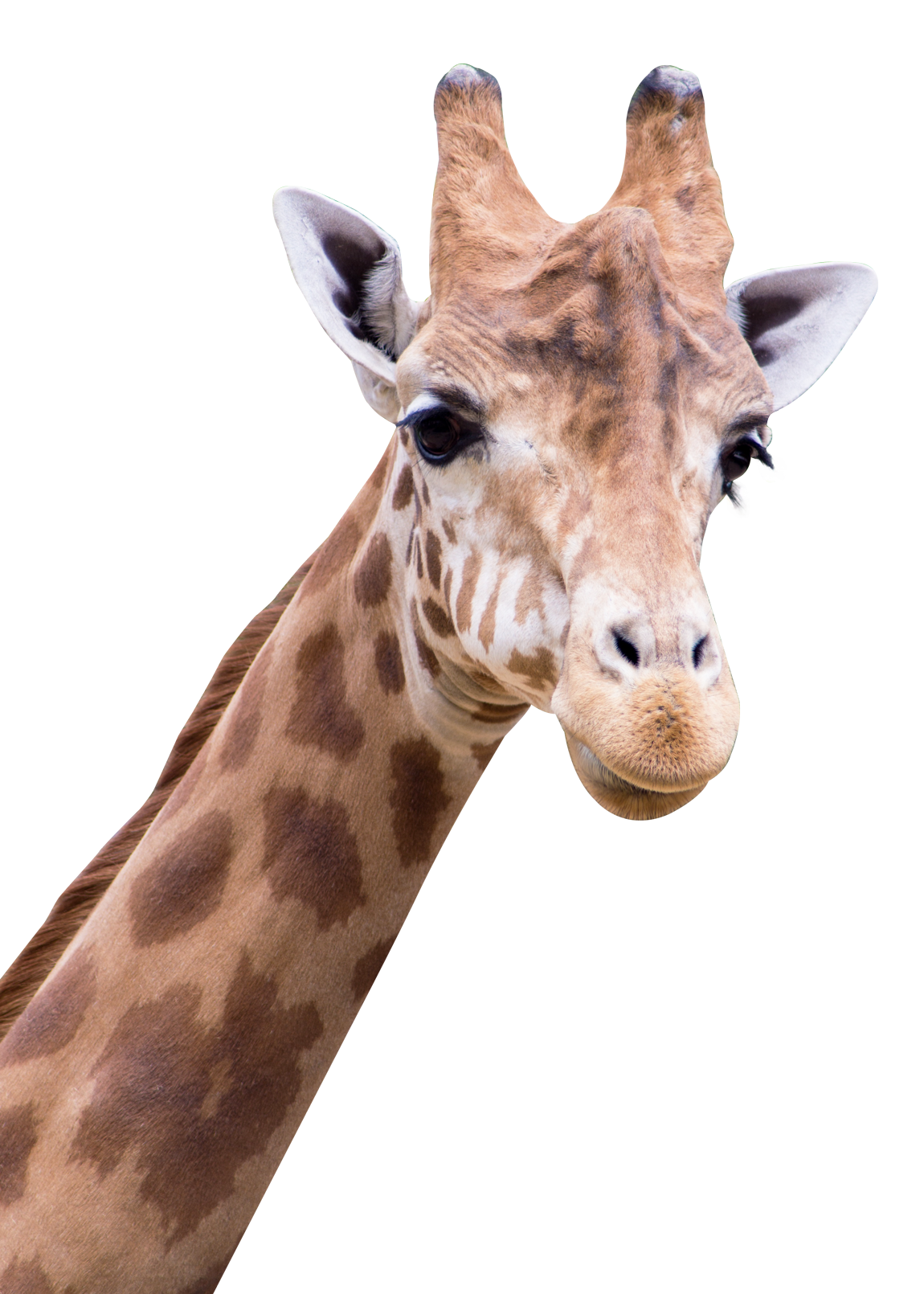 Giraffe transparent png. Images all