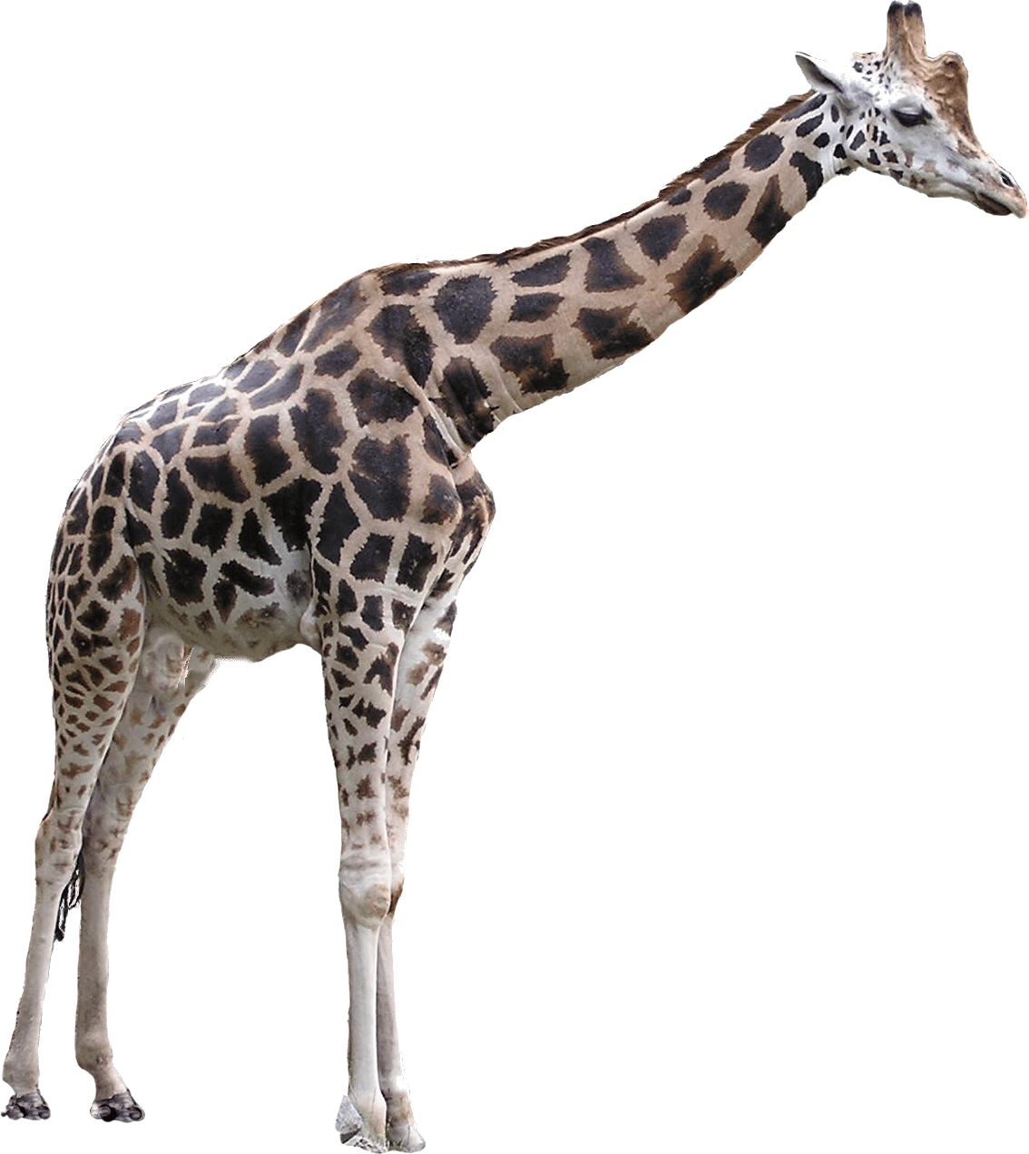 Giraffe transparent png. Giraffes images stickpng large