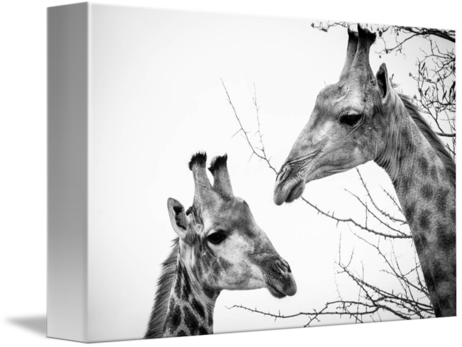 Girrafe drawing biro. Giraffe couple for
