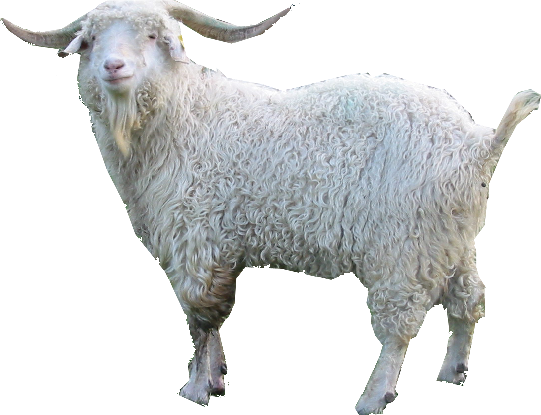 Goat clipart angora goat. Download hd png images