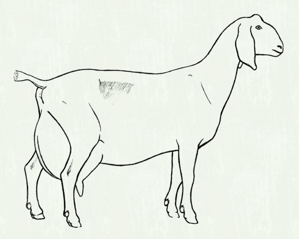 Goat clipart nigerian dwarf goat. Silhouette colouring page best