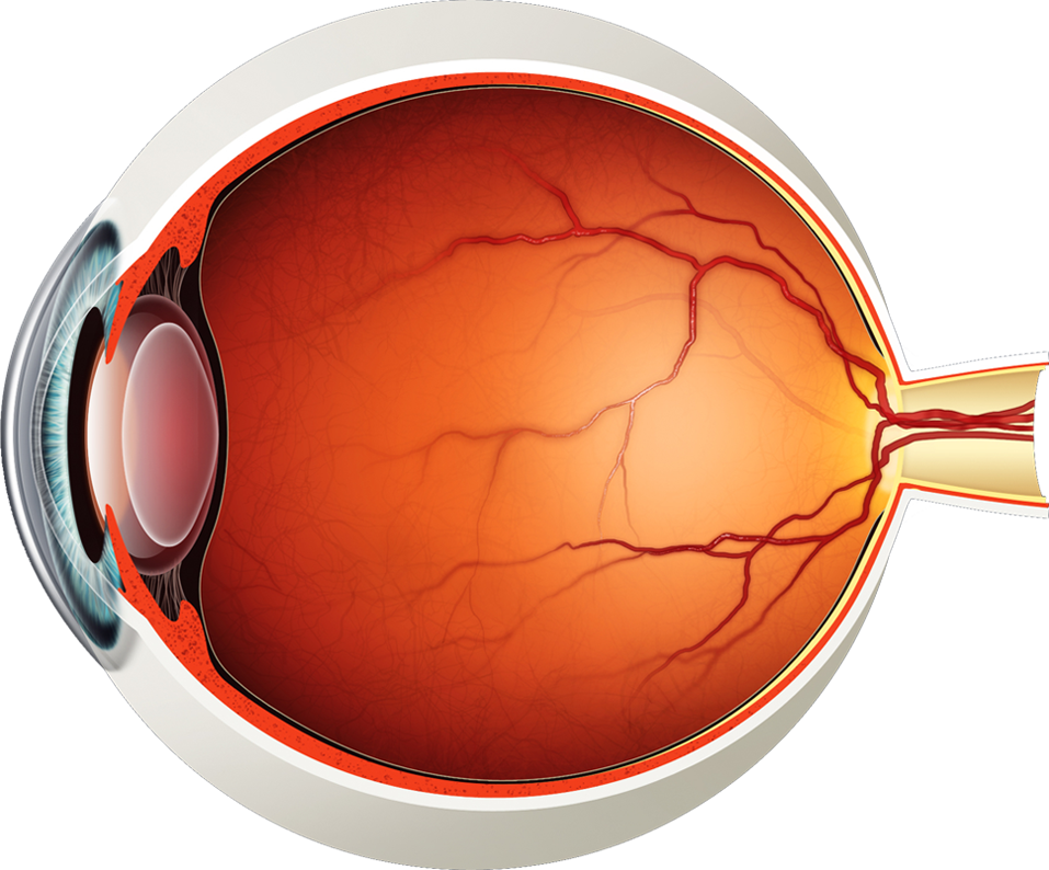 eye muscle png