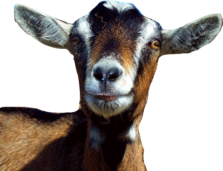 Goat face png. Choosing a you will