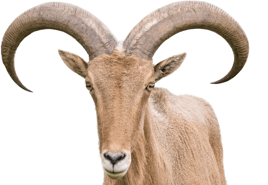 Barbary sheep national zoo. Goat horns png download