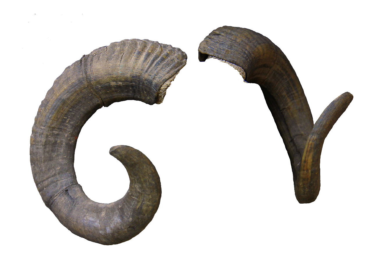 Sheep horn transprent free. Goat horns png svg free