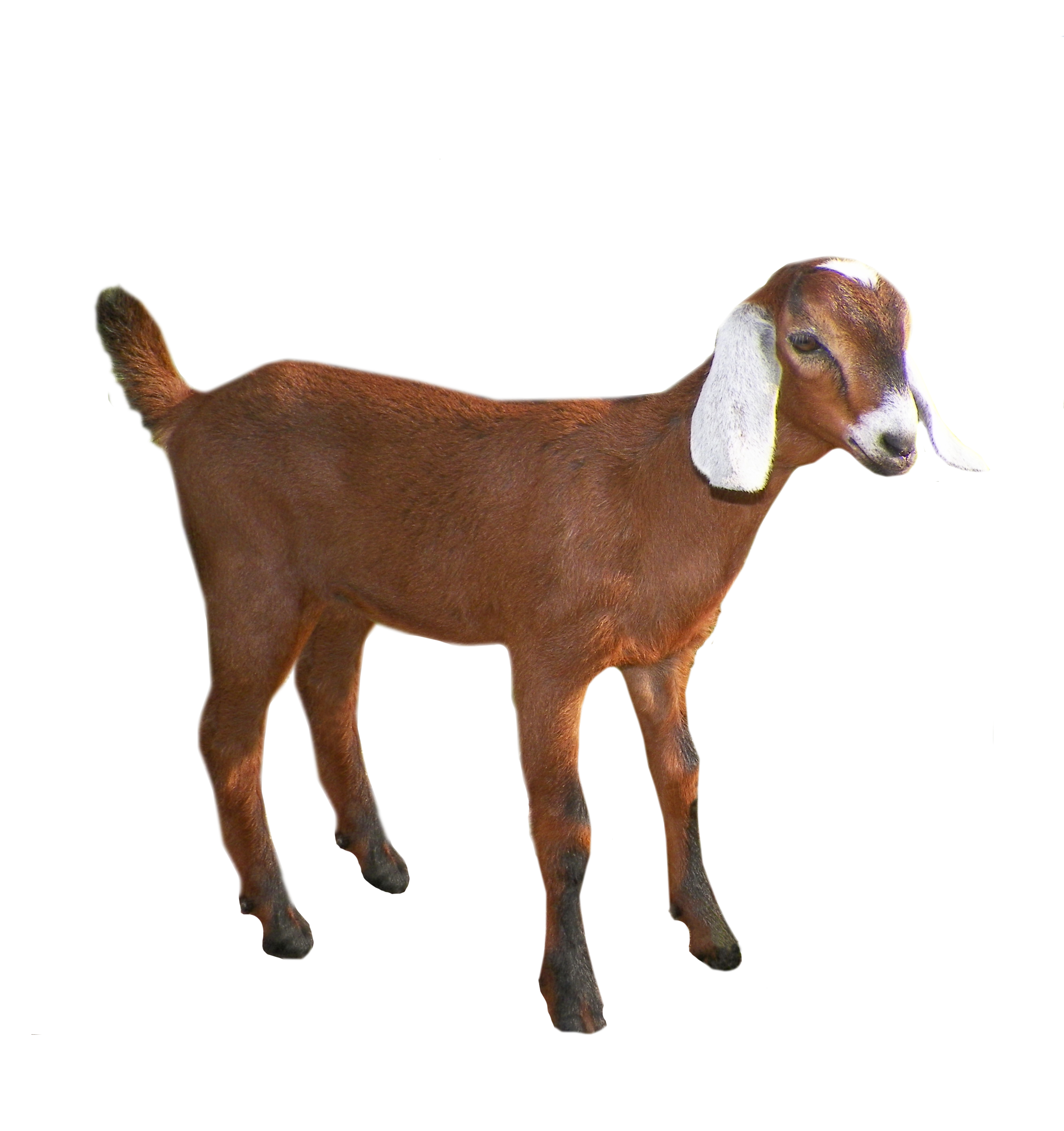 Goat png. Images free download
