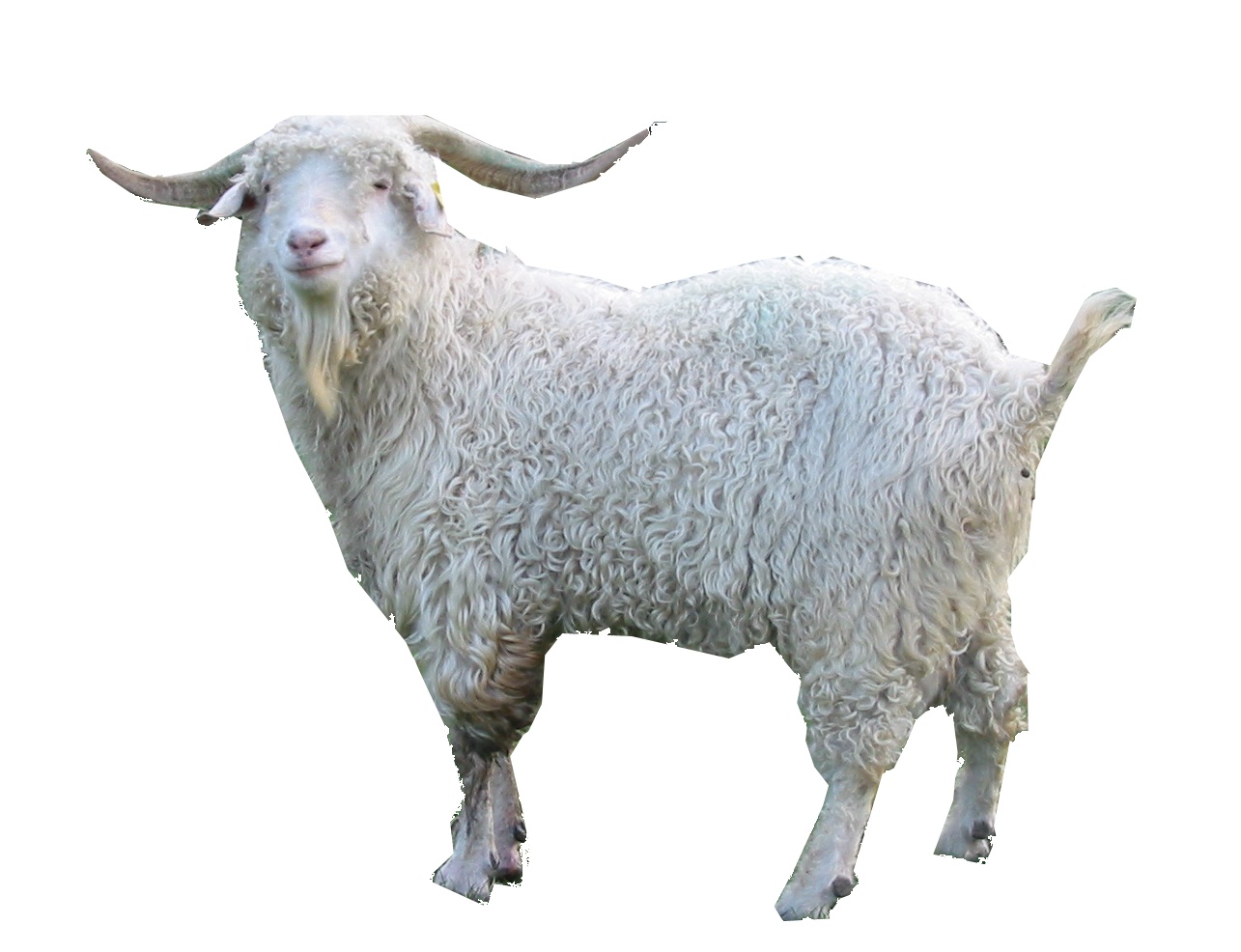 Goat .png. Related image school media