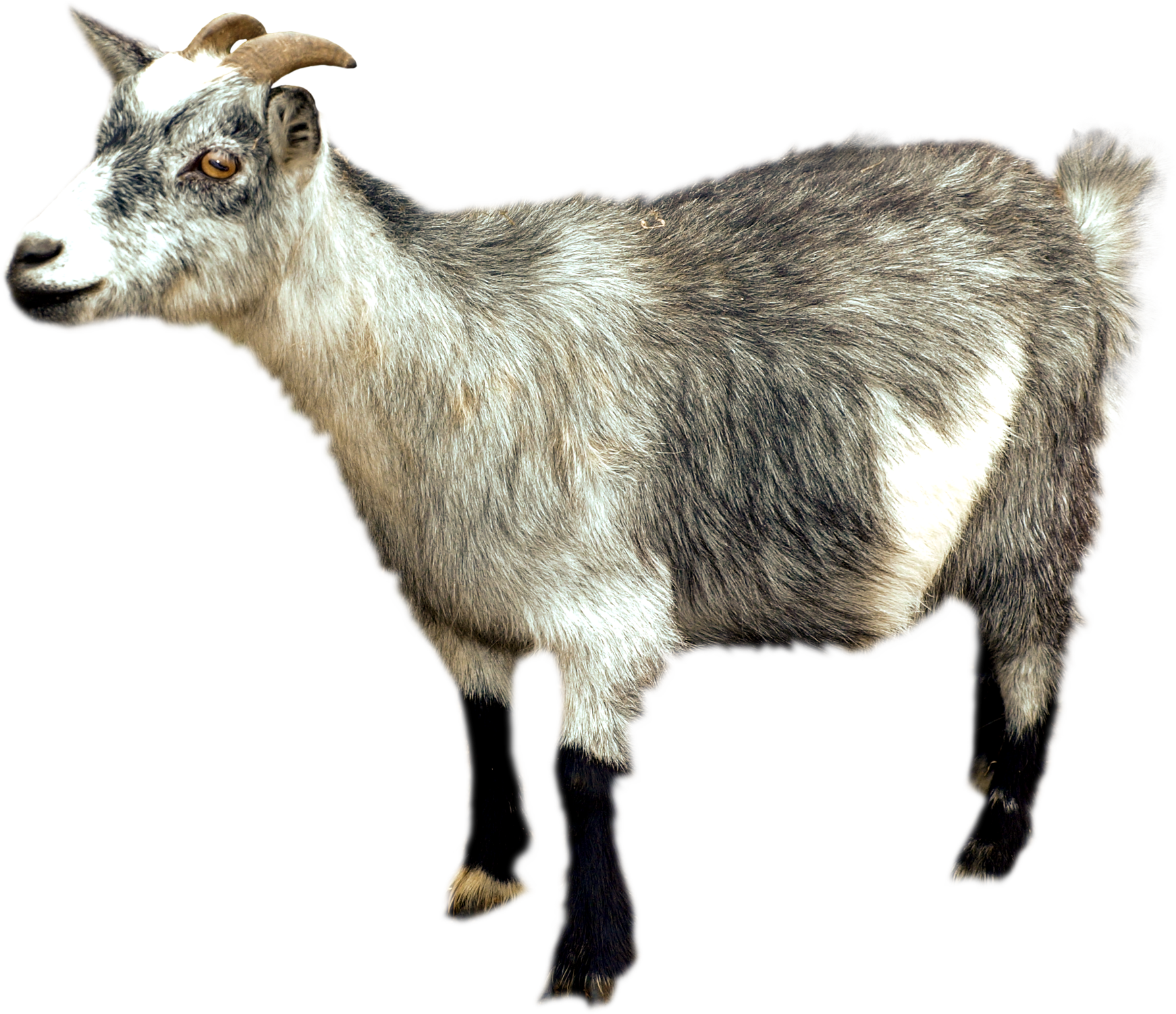 Goat .png. Png images free download