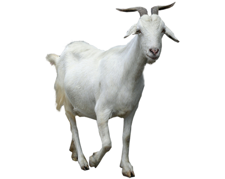 Goat png images. Free download