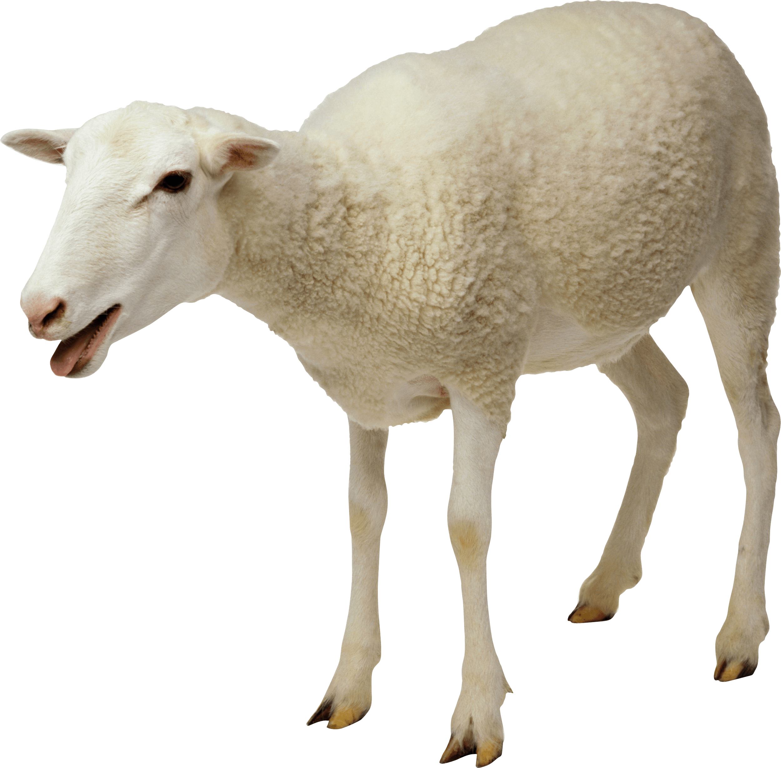 Goat png transparent. White sheep stickpng download