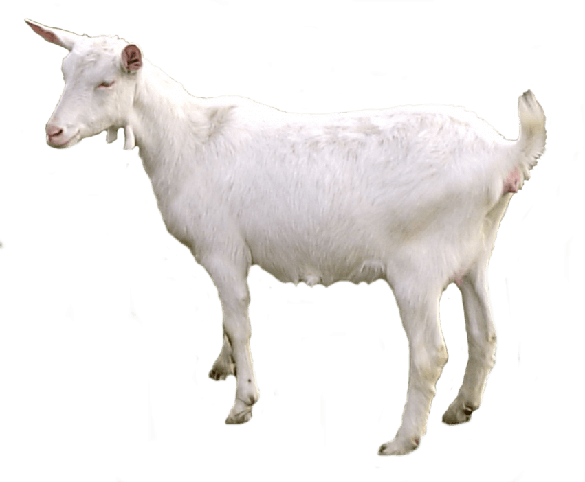 Goat transparent png. Free images toppng