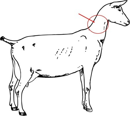 Goat withers. Anatomy flashcards quizlet