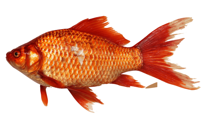 Gold fish png. Goldfish free images toppng