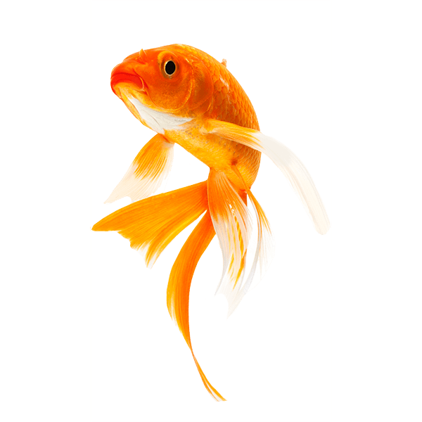 Gold fish png. Goldfish transparent images pluspng
