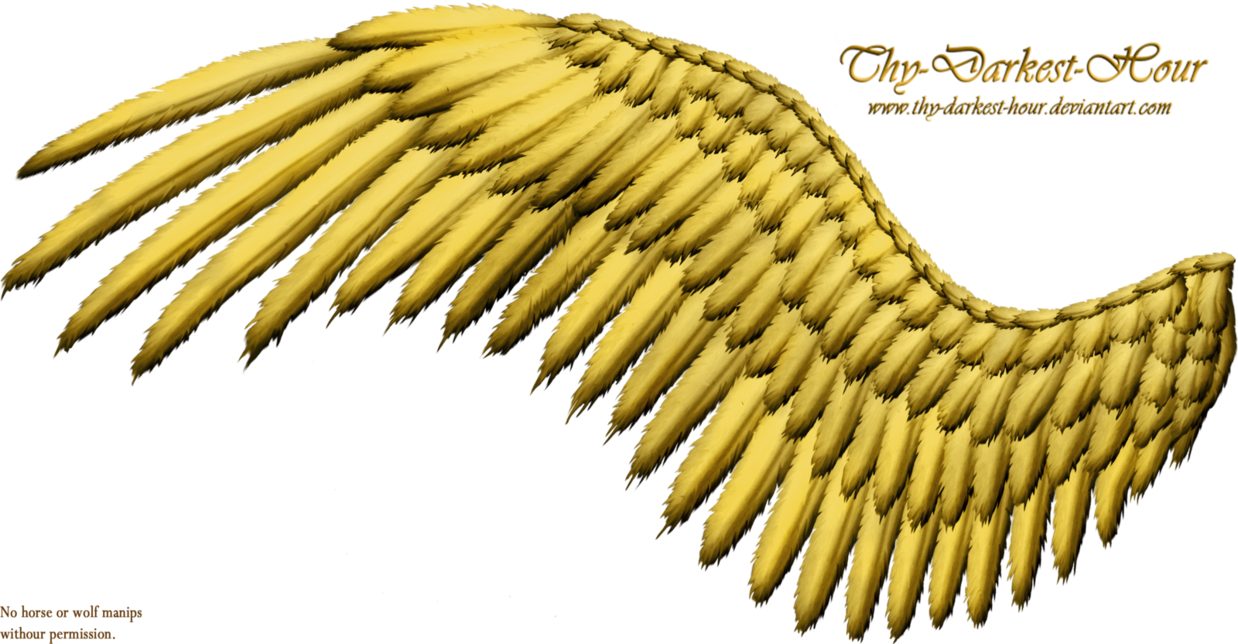 Golden angels wings png. Feathered wing by thy