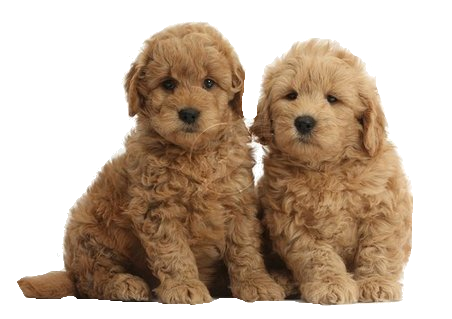 Golden doodle png. Goldedodle puppies retriever puppy