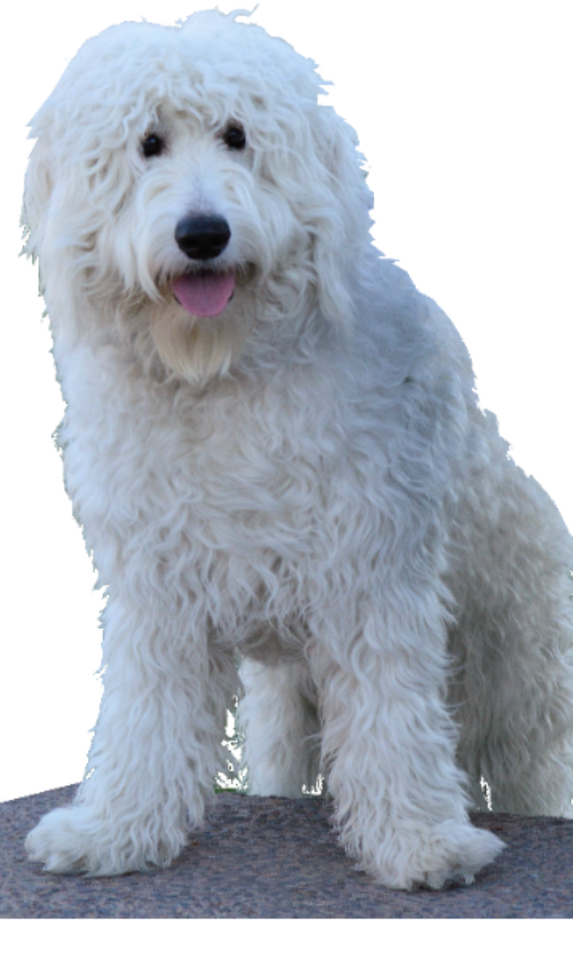 Golden doodle png. My title about our