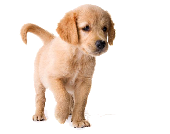 Golden retriever clipart for. Puppy png picture freeuse library