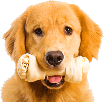 Golden retriever with glasses dogs png. Happy birthday puppy clipart