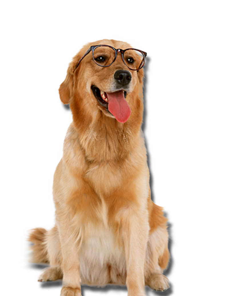 Golden retriever with glasses dogs png. Labrador puppy cat pet