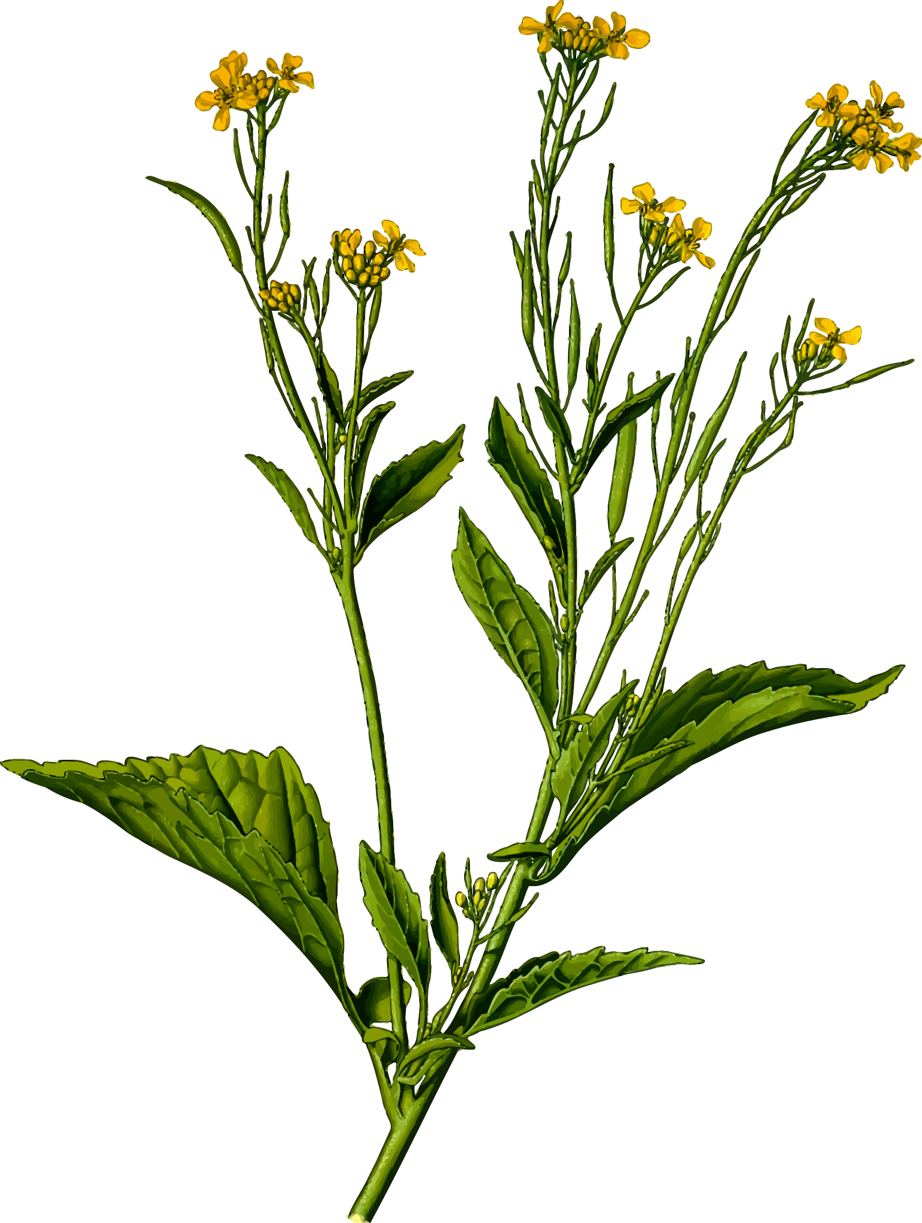 Goldenrod drawing flower. Clipart mustard greens detailed