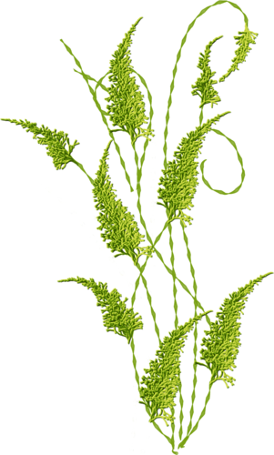 Goldenrod drawing plant. Grass leaves sticker by