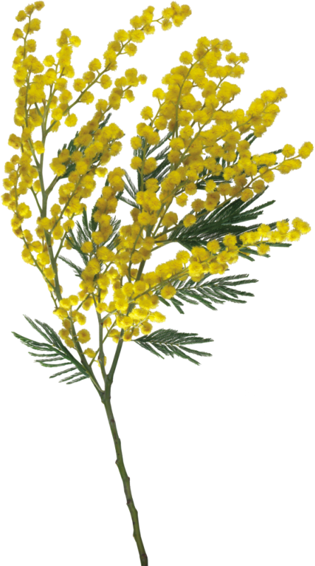 goldenrod drawing plant