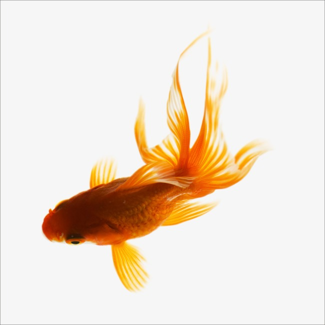 Goldfish clipart marine fish. Small png image and